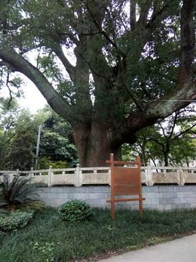 厉害了!瓷都这地方有2棵古樟树 还是唐宋时期的!