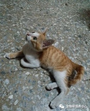 """中了喵的陷阱?小橘一见好心人就夹腿挺胸""""贵妃躺"""":带我回家吧~"""