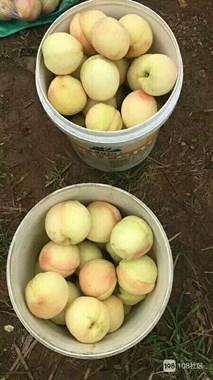 水蜜桃即将上市,欢迎前来采摘,批发,零售