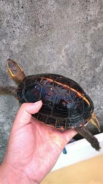 山上抓来这龟自家养了好几年,问价有社友说值1万!