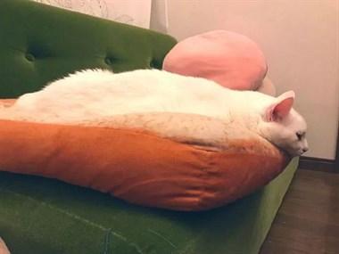 只要给家里猫咪一个面包垫子,就能得到一坨融化的奶油。