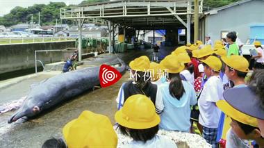 日本组织小学生观看杀鲸鱼,校长称培养自豪感