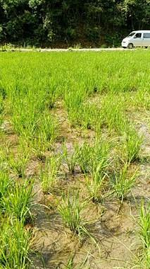 太惨了!镇巴佬家种了几十亩稻谷 全被老鼠吃没了!