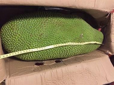 要吃就吃过瘾!这个菠萝蜜有成人手臂长,价格你绝对猜不到