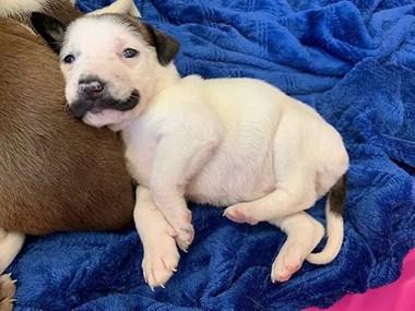 因为出生时自带两撇胡子,这只小奶汪火遍了全网!