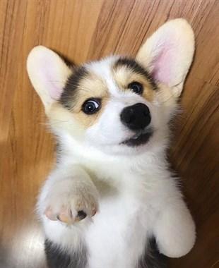 可爱的一窝小柯基幼犬,疫苗驱虫已打包健康