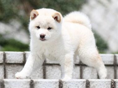 治愈系网红柴犬宠物狗狗 健康保证  包售后60天
