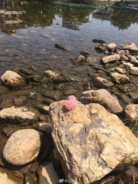 黄泥头周边发现好多粉红色卵 社友野外捡螺丝千万别吃这种