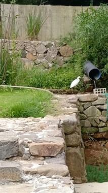 莫干山3层别墅,院子养介多观赏鱼全被这东西吞了!还不能打
