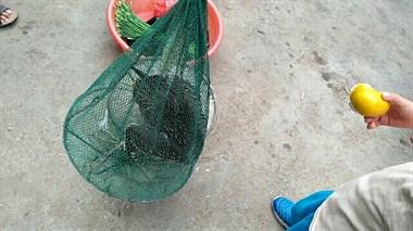 这尖嘴动物常光顾乾元虾塘,虾农逮住后懵了!这到底是啥?