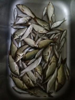 昌江河这一段我钓了好多鱼!鲤鱼排队上一直到我收杆