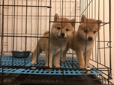 自家繁殖的纯种柴犬宝宝健康出售啦  包售后60天哦