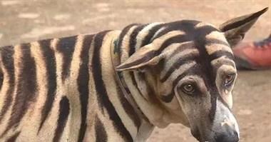 狗狗惨被主人画成老虎,本以为主人是在虐待它,背后原因却是……