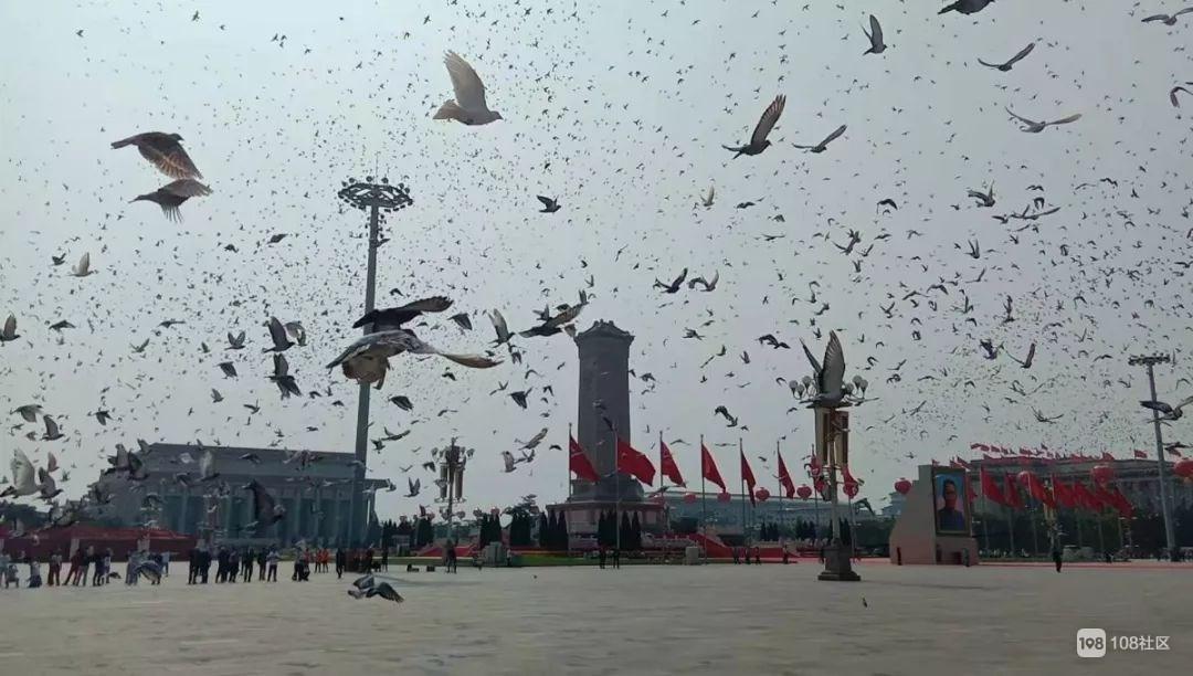 啊!天安门放飞的7万只鸽子,竟是借的?还会自己回家?
