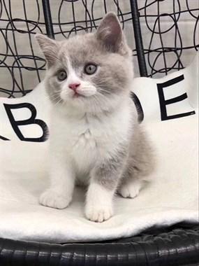 精品猫咪蓝白品相好 毛色纯正 疫苗驱虫已做包健康