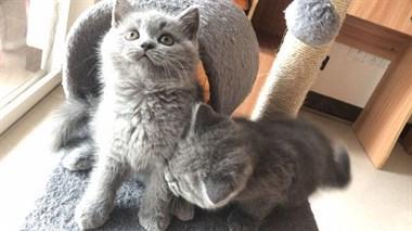 纯种蓝猫 疫苗三针已打 驱虫已做 有意者联系