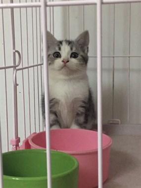 精品猫咪美短毛色好品相到位 价钱合适