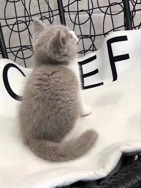 家中小仙女蓝白小猫咪