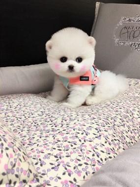 品相极好俊介博美幼犬出售