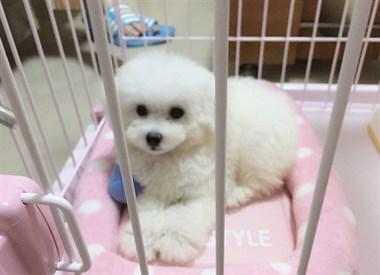 大眼睛甜美脸型法系小体大毛量纽扣眼比熊幼犬