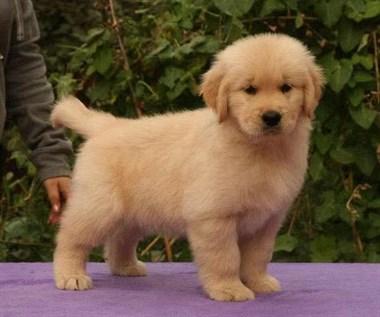 纯种健康金毛犬幼犬寻回犬金毛黄金猎犬