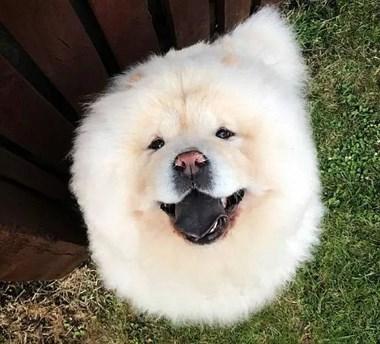 咖啡店惊现熊猫狗狗?松狮已经很可爱了,它不需要变成熊猫!