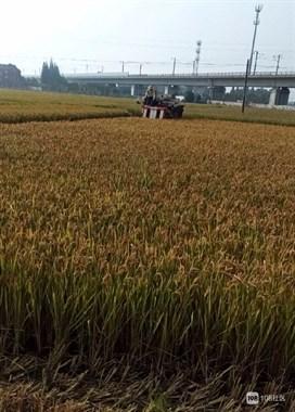 收割稻谷了