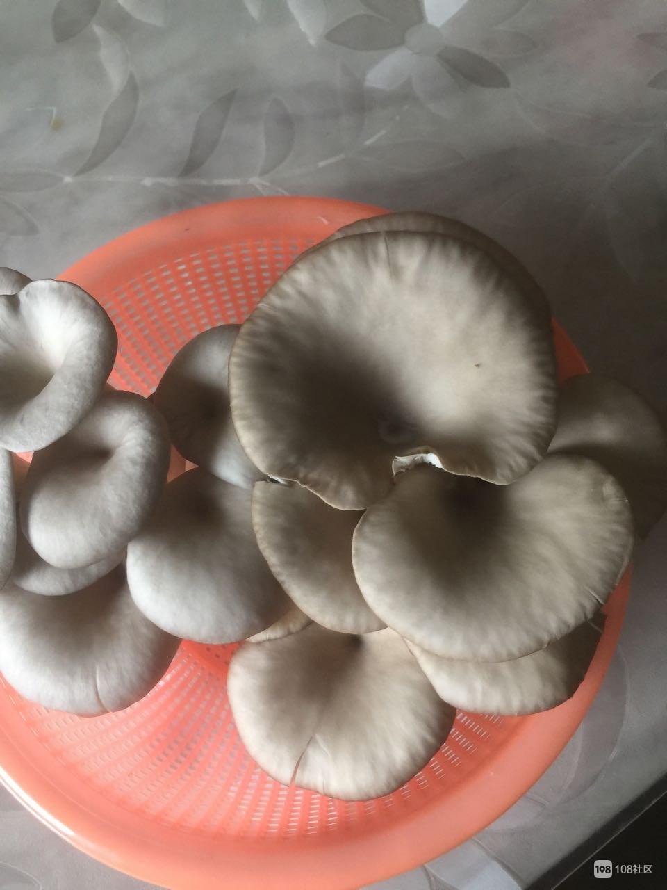 美女社友在家自己种蘑菇,现吃现摘,味道还很鲜!