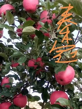 【转卖】甘肃老家精品苹果