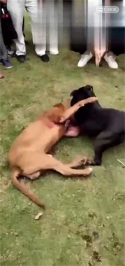 曙光路有人赌好几万斗狗?狗被咬得一身是血 旁边还在叫好