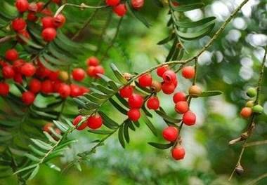 急急急!红豆杉真的对胰腺癌有效吗?哪里有?