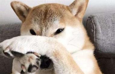 狗狗被主人的鞋子臭的睡不着,于是做了这样一件事……