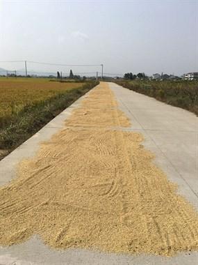 自己家种植的杂交米和晚米