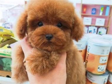 【转卖】泰迪犬幼犬出售,价格实惠