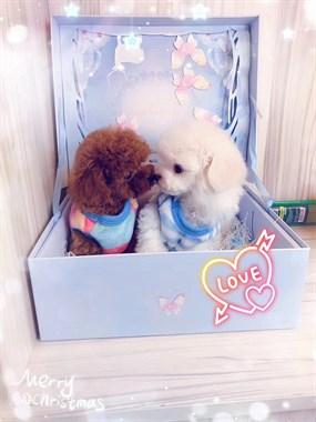 超小体泰迪幼犬,萌萌哒 ,品质有保障