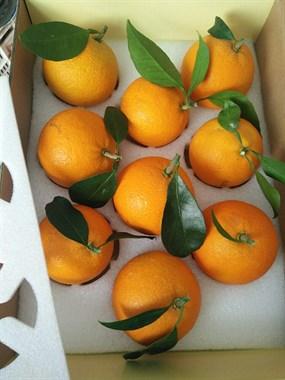 咱们象山柑橘新品种~~红美人