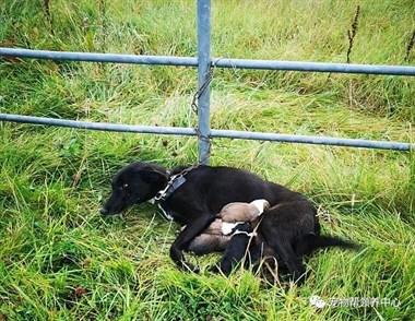 痛心!狗狗被铁链捆在路边遗弃,身边还躺着……