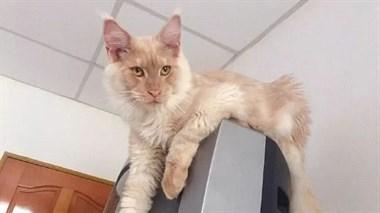 这只猫和鳌拜长得简直是一模一样!