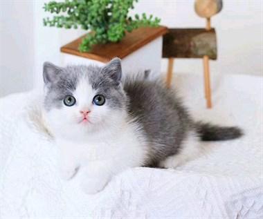 蓝白猫,蓝猫.美短.英短.渐层