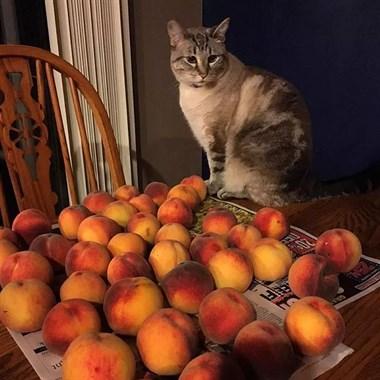 喜欢呆在桃子旁边的喵星人