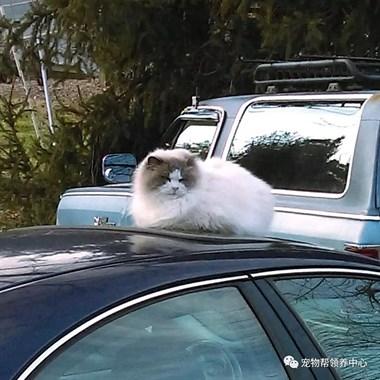 邻居家的布偶猫来敲门,送它回家时,才发现…它的主人已经搬走了…