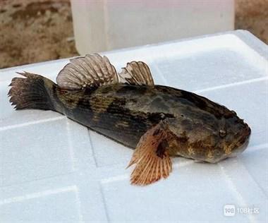 两斤重的虾虎鱼?不敢确认是不是,第一次钓到这么大的也不敢吃