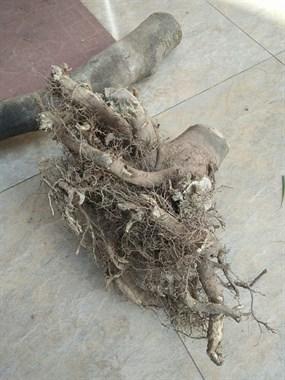 """你吃过这""""树根""""吗?据说它是一门药材,专治风湿痛!"""