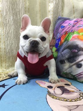 小短体奶油色法斗幼犬