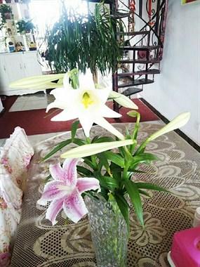 暖心!美女社友每到百合花期,就剪下花枝分给邻居们!