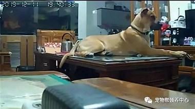 """监控里发现狗狗""""睡满茶几"""",得知真相后,铲屎官哭了……"""