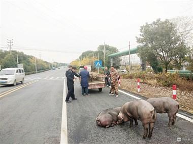 大型抓猪现场!价值两三万的4头猪,在钟管这跑了