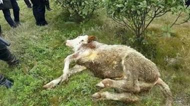 砰砰好几声枪响!曝西山凶牛撞伤杀牛人,被特警击毙