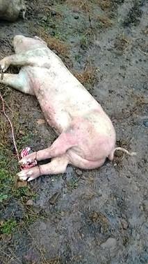 龙潭坑水库发现死猪浮尸!每只2百多斤,脚上还挂着…
