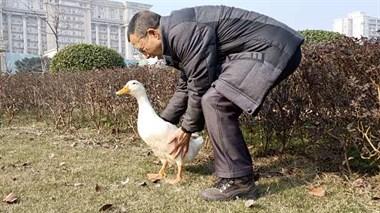 大爷捡鸭当宠物,天天遛弯钓鱼喂鸭